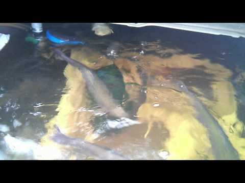 trout in pond silkies in backyard the trout are from last april s ...