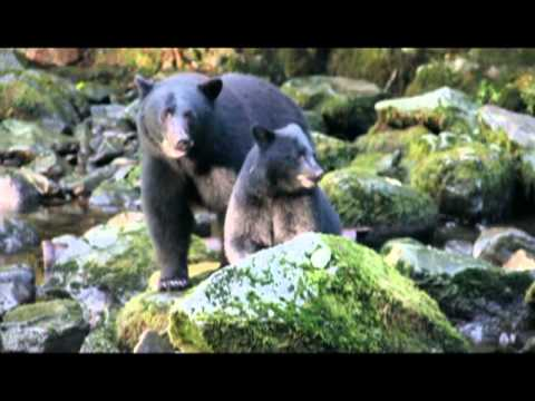 Bears In Ucluelet