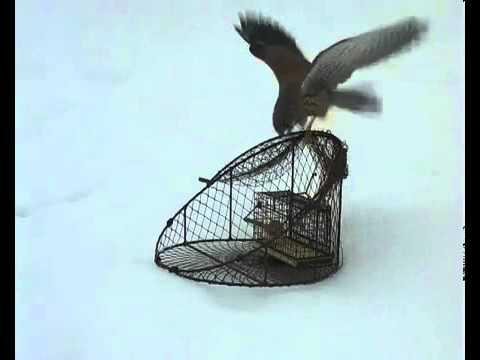 Ловушка на хищных птиц своими руками