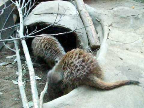 腰が引けてるミーアキャット@上野動物園/ meerkats