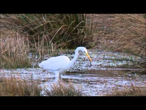 critical analysis of white heron In many ways, the new england countryside is the fourth main character of a white heron this wondrous natural environment is the key to the story since it's the.