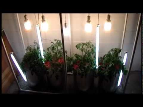 Dwc Deep Water Culture Hydroponic Tomatoes With Vertically Hung Fluorescents