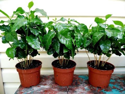Растения кофе уход в домашних условиях