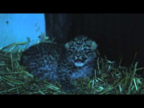 Parken Zoo/ Amur leopard cub born at Parken Zoo Sweden