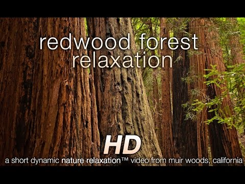 Redwood Forest HD Nature Relaxation Video Just Nature Sounds 1080p HD