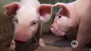 Paso a paso de la castración en cerdos | La Finca de Hoy
