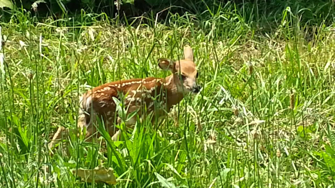 Baby Fawn Deer Crying Looking