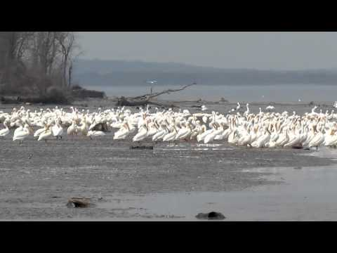 Congregating Migrating American White Pelicans on the Mississippi River