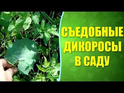 ☘ Какие дикоросы можно есть  на садовом участке ? Съедобные сорняки и не только.