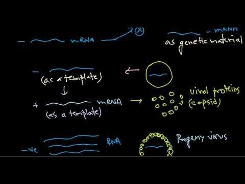 9  Replication of negative stranded RNA virus