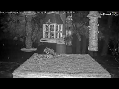 Incredible Flight and Landing by Flying Squirrel on the #OntarioFeederWatch Cam | Cornell Lab