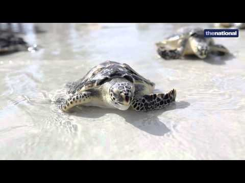 Rehabilitated turtles released back to the sea in Abu Dhabi