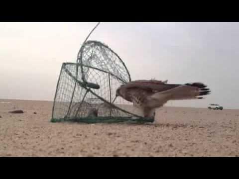 طريقة صيد الطيور الجارحة