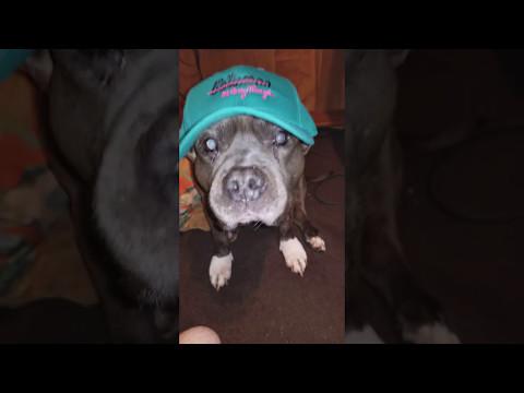 A very stylish dog!(PITBULL WEARING A HAT)