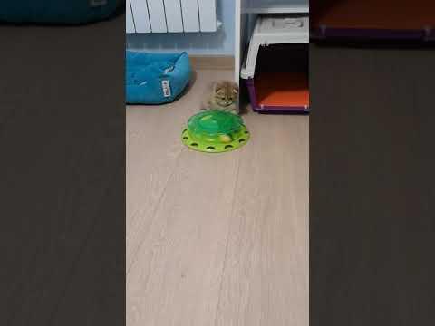 Котенок играет с шариком. Прикол!
