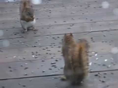 Squirrel Fight Video