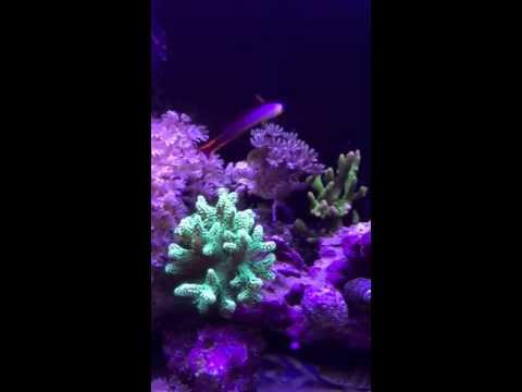 Innovative marine 16 gallon nuvo reef tank update
