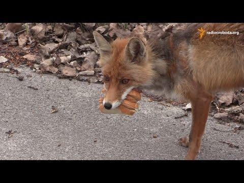 Чорнобильський лис готує сніданок