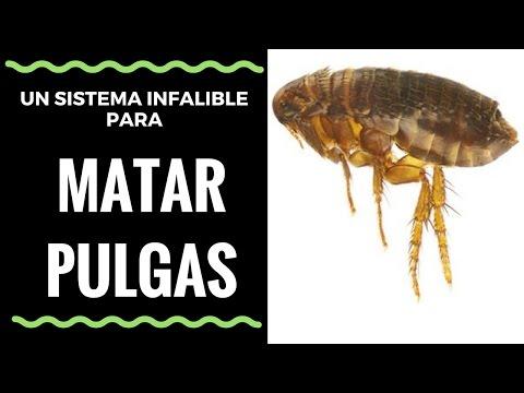 Video como matar pulgas con un sistema infalible how to - Como matar pulgas en casa ...