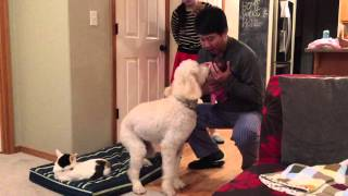 Goldendoodle meets newborn for the first time