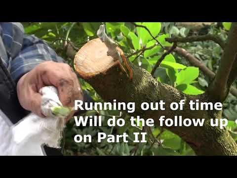 Top working Avocado - Changing canopy -  Bark Grafting Avocado - Injerto de corteza aguacate