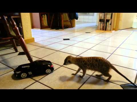 Meerkat meets Remote Control car.