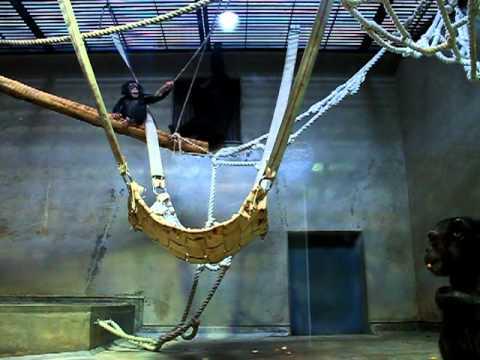 飛び降りて遊ぶチンパンジーの赤ちゃん(いしかわ動物園)