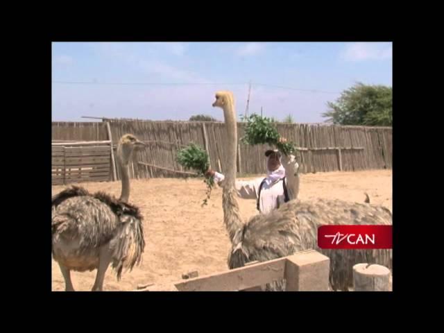 Zoocriadero de aves gigantes - Chiclayo Perú