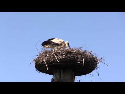 Photostories  - Ooievaar met jong op nest Kalfjeslaan