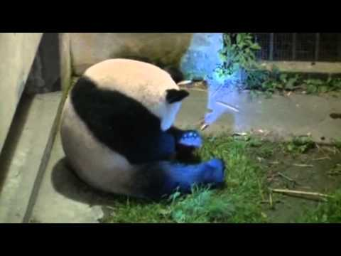 Raw Video: Panda Births Twins