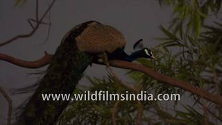 Indian peacock or blue peafowl, a glamorous bird pruning its feathers