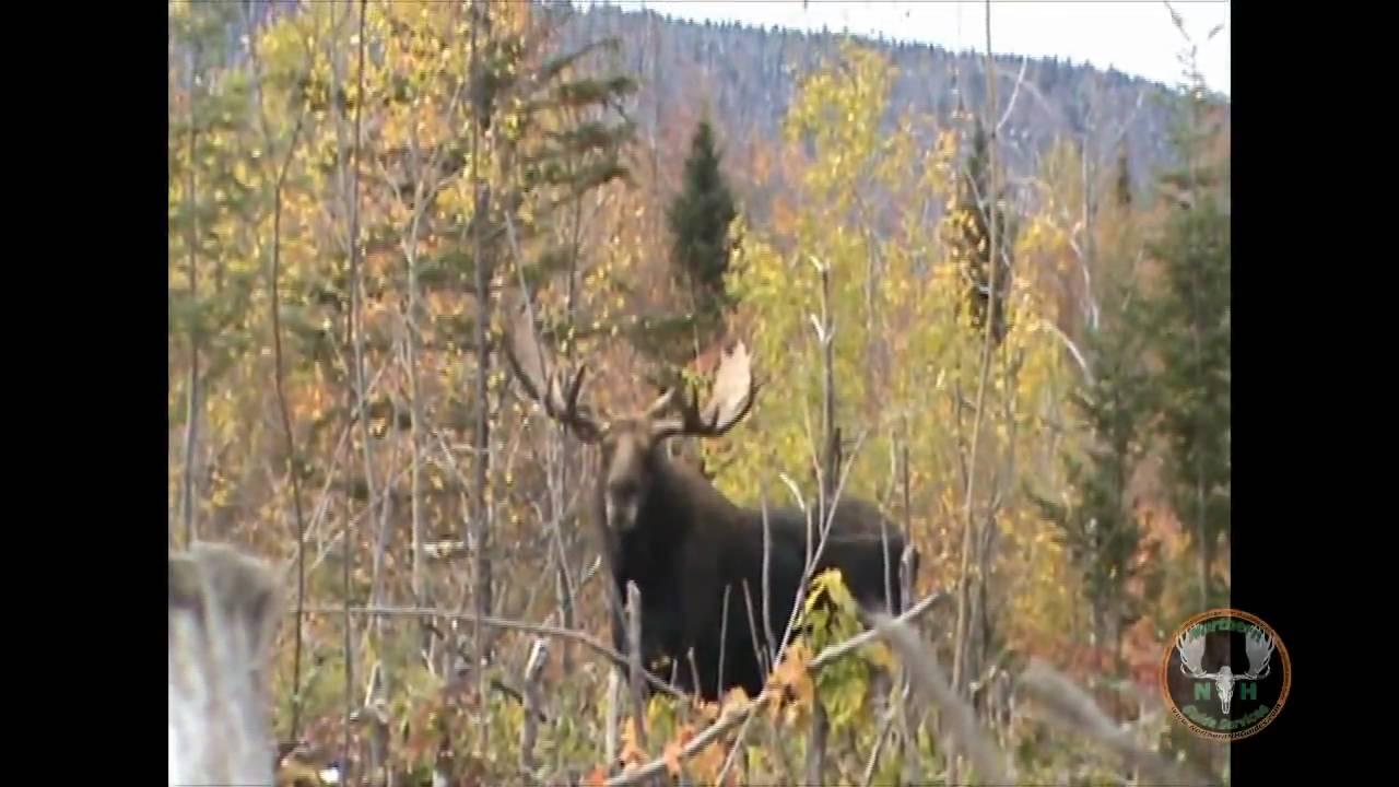 Record bull moose