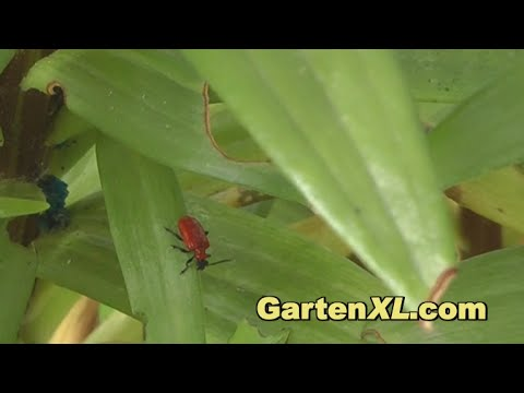 How to Prevent and Treat Red Lily Beetles / Scarlet Lily Beetles / Lily Leaf Beetles