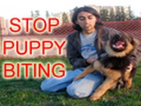 How To Train Puppy To Stop Biting!