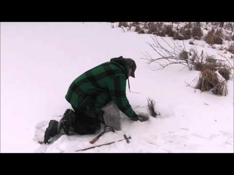 how to trap coyotes on the ice