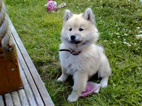 Eurasier pup meets Birman cat Video