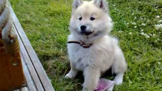 Eurasier pup meets Birman cat