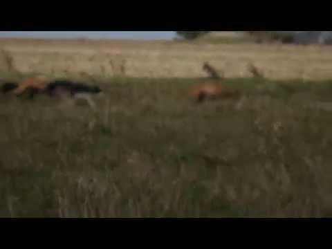 galgos cazando liebres,el sombra,mataco y cachorros
