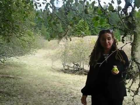 Picking apples at Fort Ross State Historic Park in Sonoma County, Northern California