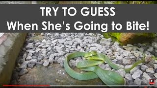 Snake Biting - Cat Snake - Boiga cyanea - HD 720p