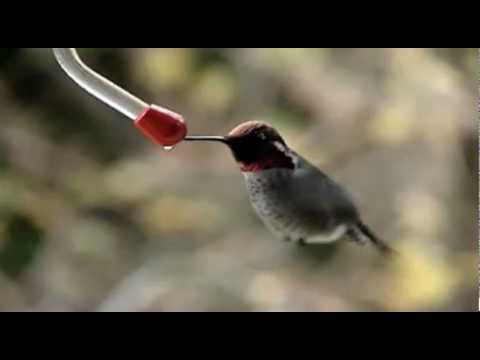 Honey Badger Narrates: The Fastass Flying Hummingbirds (original narration by Randall)