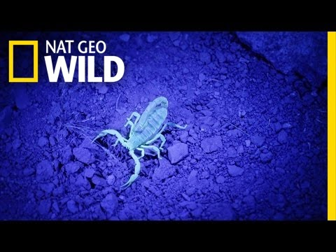 Finding Glow-in-the-Dark Scorpions | United States of Animals