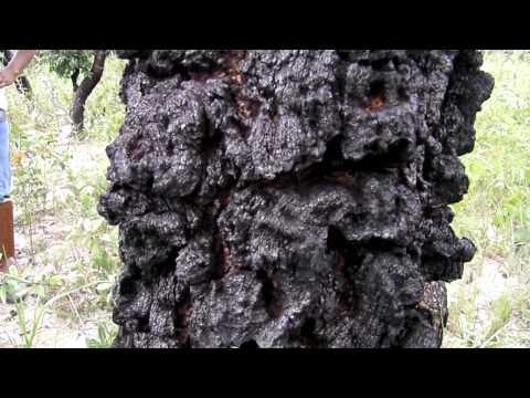 Quina e a proteção contra o fogo - Reserva Natural Serra do Tombador