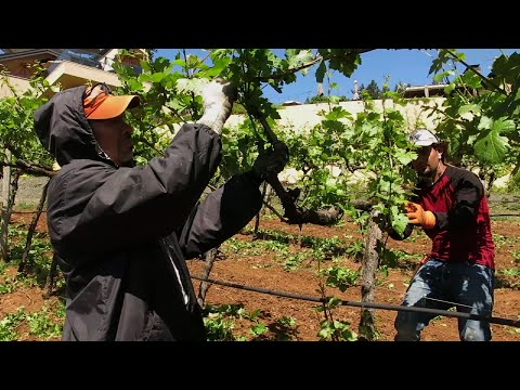 Wineries Benefit, Suffer from Climate Change