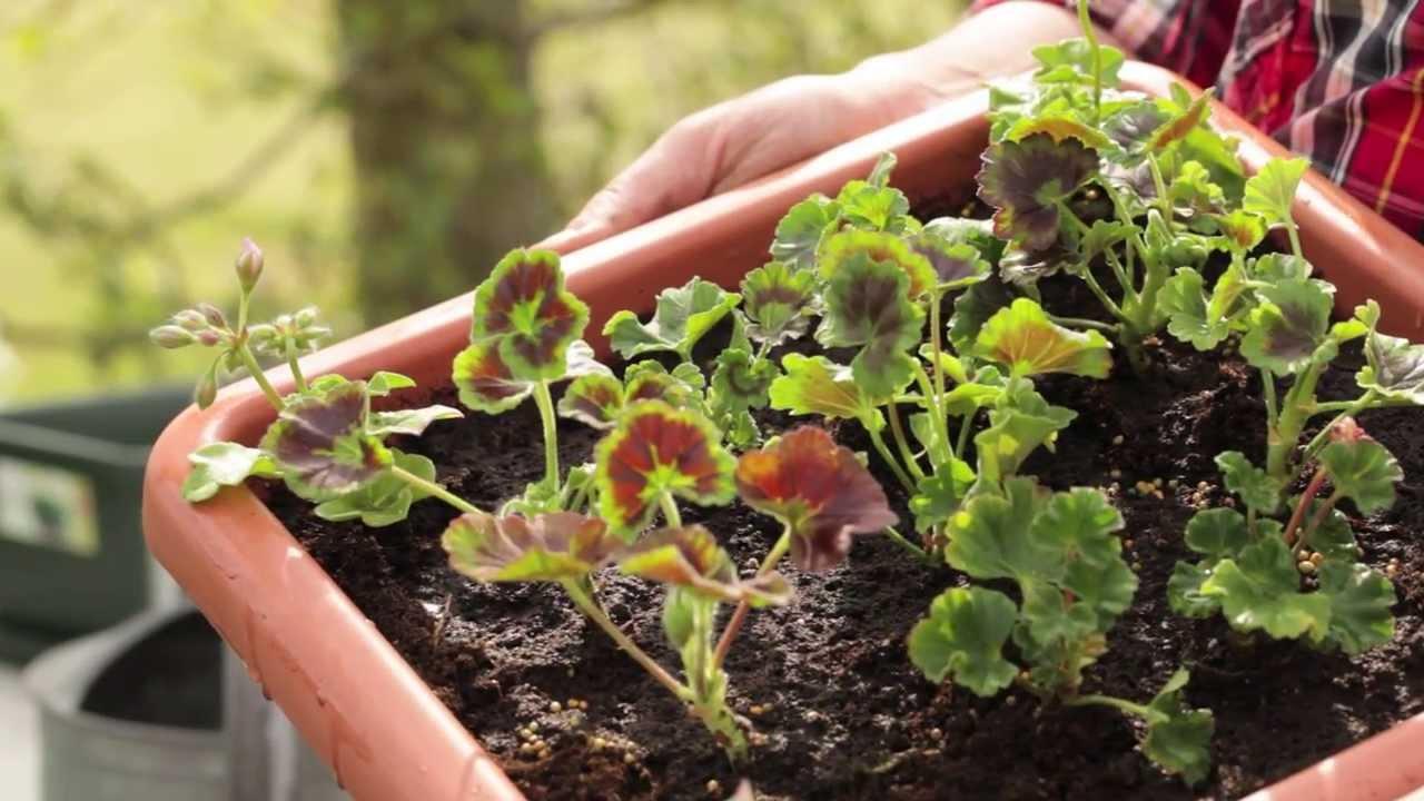 Graines baumaux bomottes g ranium youtube - Graine de geranium ...