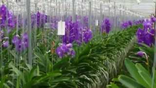 Anco Vanda Orchids from Easy Orchids
