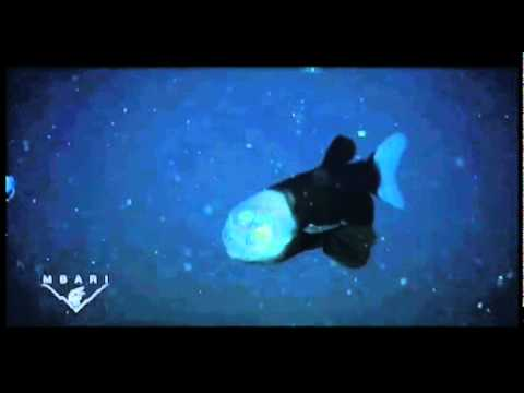 BarrelEye Fish with Transparent Head