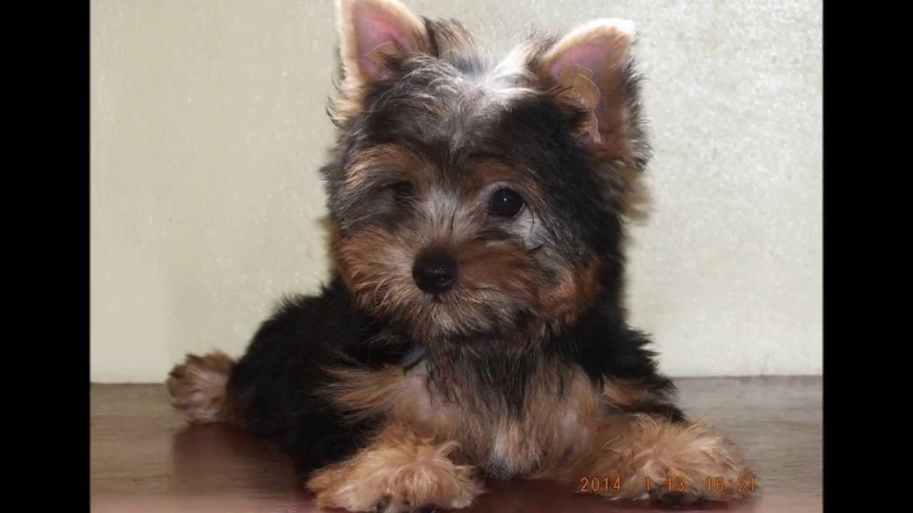 Cute Female Yorkshire Terrier Dog For Sale In Manila Youtube
