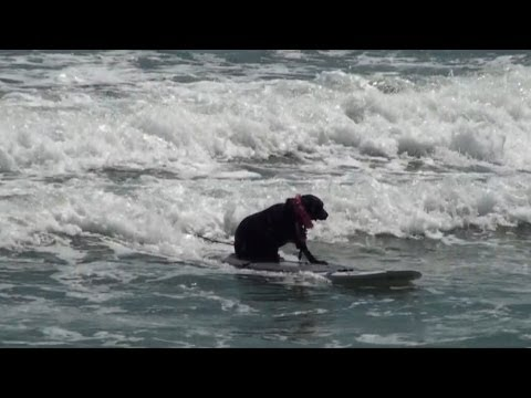 Cocoa Beach Dog Surf Contest