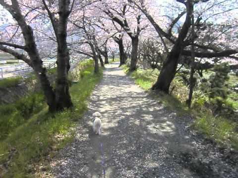 もんと桜道 (投稿者 : こはく さん)